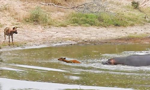 Linh dương bị chó hoang và hà mã truy đuổi cùng lúc