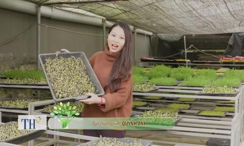 Cách trồng rau mầm từ hạt cải, hướng dương