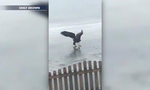 Đại bàng săn cá trên mặt hồ đóng băng
