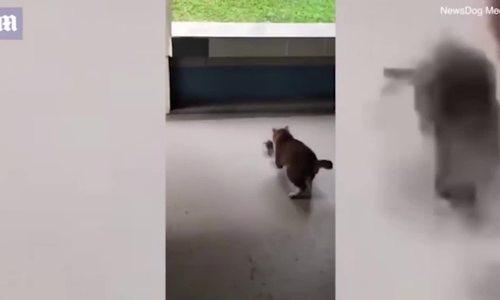 Mèo sợ hãi bỏ chạy khi bị chuốt tấn công