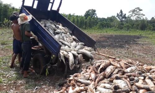 Cá chết trắng hồ thủy lợi ở Bình Phước do thiếu oxy