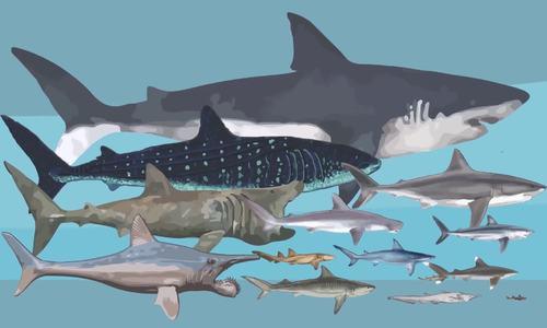 So sánh kích thước của các loài cá mập