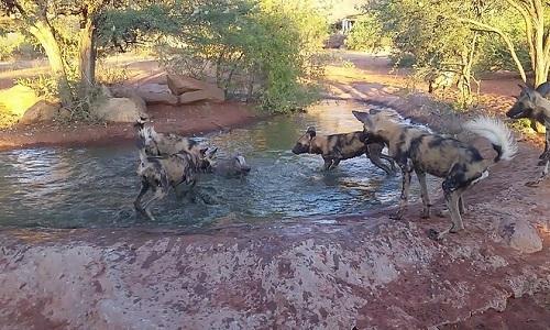 Lợn rừng trốn dưới nước bị đàn chó hoang cắn xé