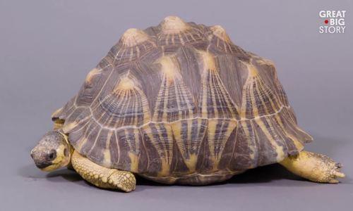 Loài rùa đẹp nhất thế giới có nguy cơ tuyệt chủng trong 20 năm tới