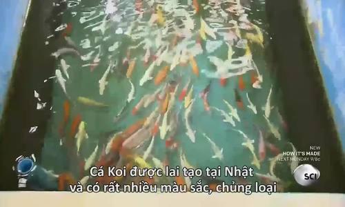 Quy trình nuôi 2 triệu chú cá chép cảnh xuất khẩu