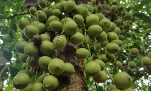 Người dân Huế thu hoạch loại dâu nức tiếng bốn phương