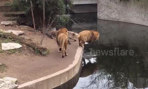 Sư tử trượt chân ngã nhào xuống nước