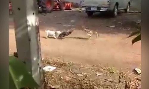 Cún con tìm cách can ngăn 'đại chiến' giữa hai gà trống