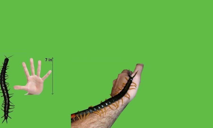 Những loài rết lớn nhất trên Trái Đất