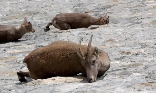 Đàn dê núi đứng trên vách đập dốc đứng để liếm muối