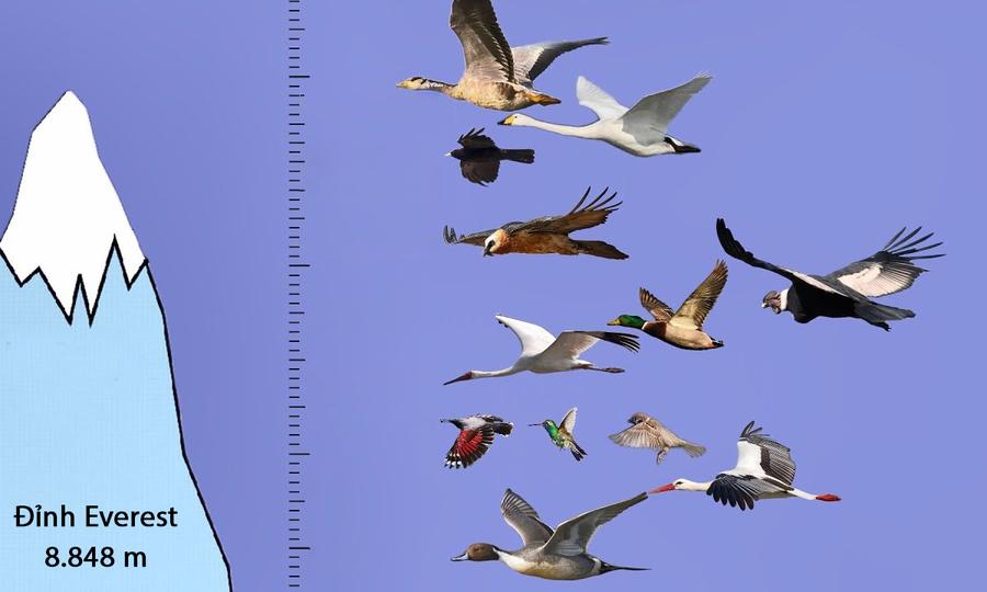 Những loài chim bay cao nhất còn tồn tại trên Trái Đất