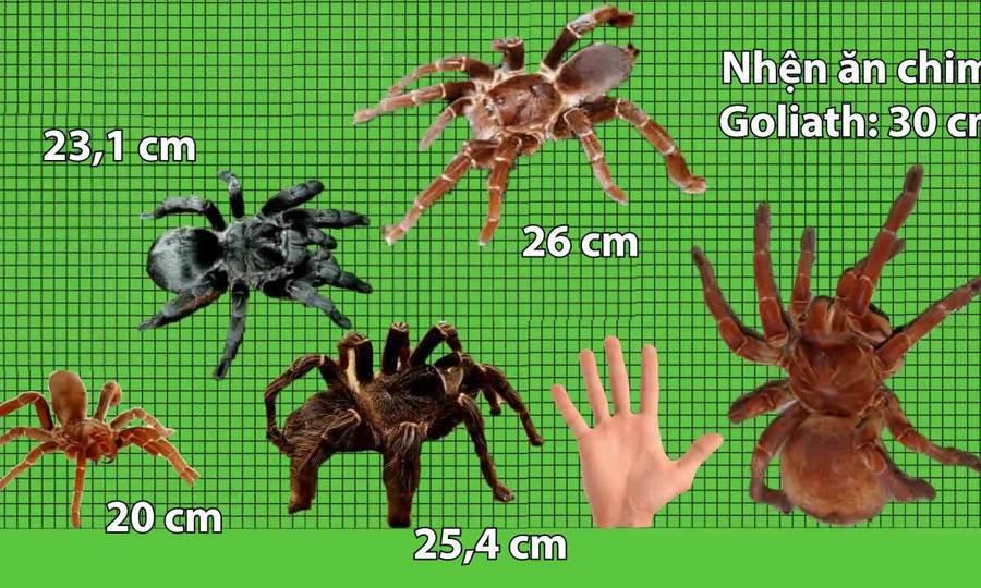 So sánh kích thước những loài nhện lớn nhất thế giới