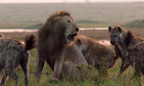 Sư tử suýt mất mạng khi xông vào giữa bầy 20 con linh cẩu