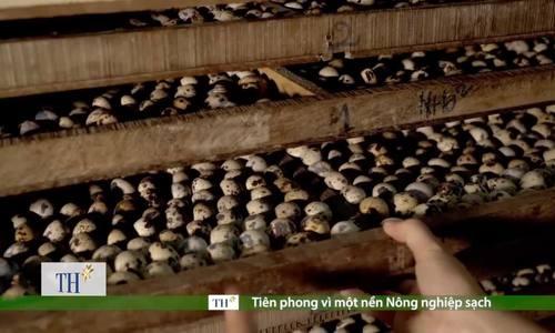 Trang trại nuôi chim cút không kháng sinh và tận dụng chất thải làm phân bón