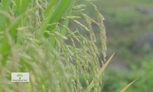 Giống gạo ngoại Séng Cù trở thành đặc sản Lào Cai