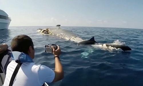 Cá mập hổ xé xác cá voi trước mũi thuyền