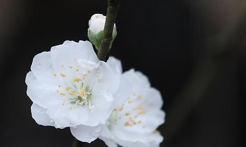Đào bạch hiếm giá 10 triệu ở Nhật Tân