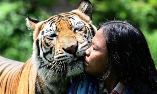 Người đàn ông Indonesia làm 'bảo mẫu' cho hổ