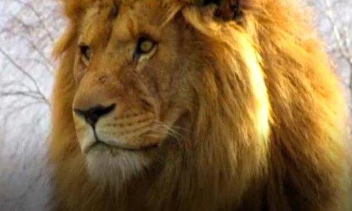 Sư tử đực bị bầy sư tử cái cùng chuồng giết chết