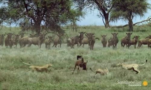 Linh dương đầu bò một mình giao chiến với bầy báo săn