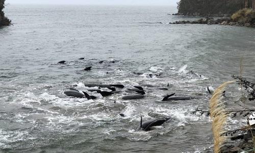 Giải cứu 30 con cá voi mắc cạn ở hòn đảo New Zealand