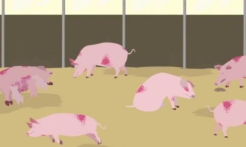 Những con đường lây nhiễm của virus dịch tả lợn châu Phi