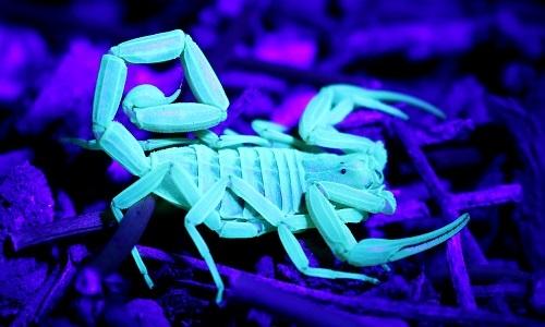 Loài bọ cạp độc nhất Bắc Mỹ có khả năng phát sáng