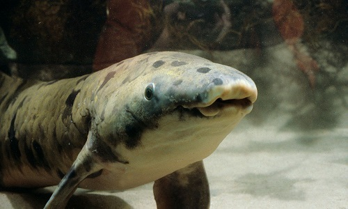Loài cá 'hóa thạch sống' tồn tại nhiều năm không cần nước