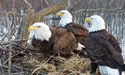 Gia đình đại bàng hai bố, một mẹ cùng chăm sóc chim non