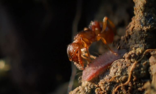 Loài sâu bướm giả làm ấu trùng kiến để được nhận nuôi
