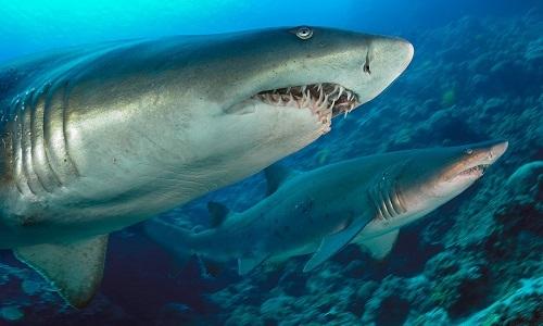 Cá mập hổ cát sục sạo bắt cá bơn nấp dưới đáy biển