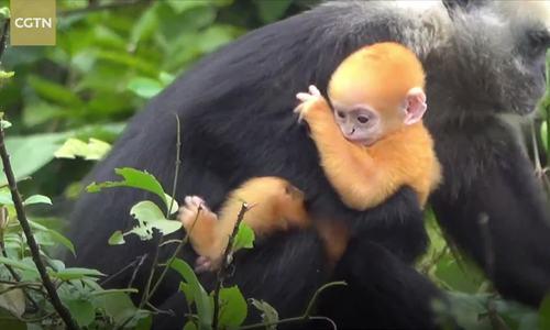Voọc đầu trắng siêu hiếm chào đời ở khu bảo tồn Trung Quốc