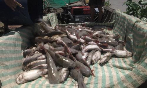 Cá bè chết trắng trên sông La Ngà sau trận mưa lớn