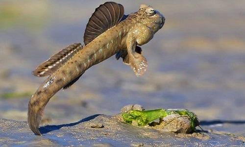 Cấu tạo giúp cá thòi lòi chạy trên cạn và leo cây thoăn thoắt