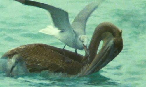 Mòng biển cướp mồi ngay trên miệng bồ nông