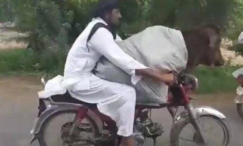 Người đàn ông Pakistan chở bò bằng xe máy