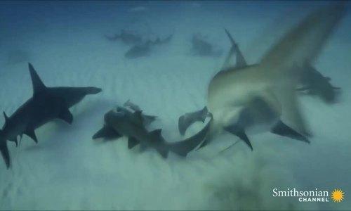 Cá đuối trốn trong cát vẫn bỏ mạng dưới hàm cá mập búa