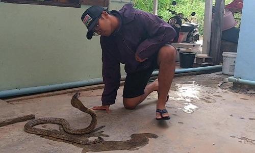 Nhân viên cứu hộ tay không thuần phục rắn hổ mang