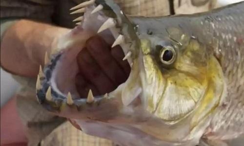 Những vũ khí biến cá hổ Goliath thành thủy quái săn mồi