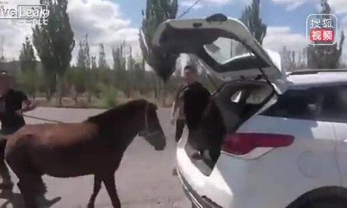Tài xế dùng xe SUV để chở ngựa quý