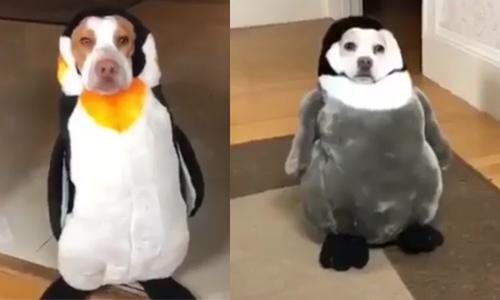 3 chú chó bị chủ nhà hóa thân thành chim cánh cụt