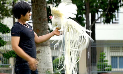 Đàn gà cảnh đuôi dài 2 mét, giá trăm triệu mỗi con ở Tây Ninh