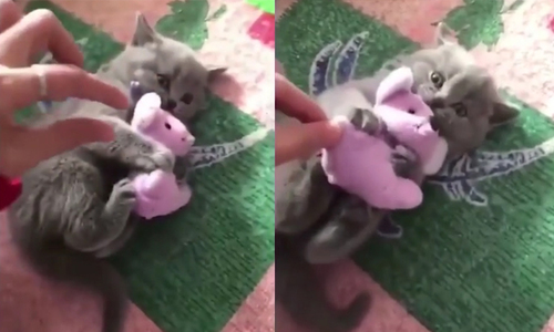 Mèo phản ứng dữ dội khi chủ nhà lấy chuột nhồi bông