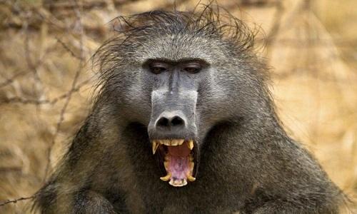 Những vũ khí biến khỉ đầu chó thành loài vật đáng gờm