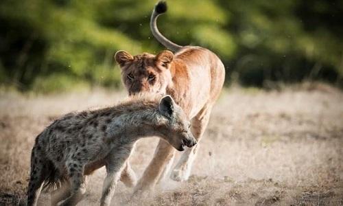 Sư tử mẹ đánh đuổi linh cẩu để bảo vệ đàn con