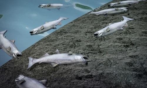 Cá hồi Alaska chết hàng loạt vì nước sông quá nóng