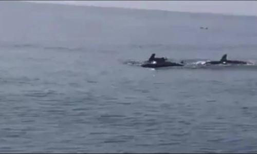 Đàn cá heo bơi trên biển Cửa Đại - ảnh 1