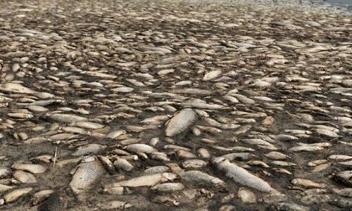 Hàng nghìn con cá chép chết khô trên mặt hồ