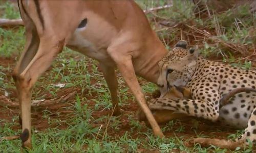 Zimbabwe, Linh dương giả chết suýt thoát hàm báo săn