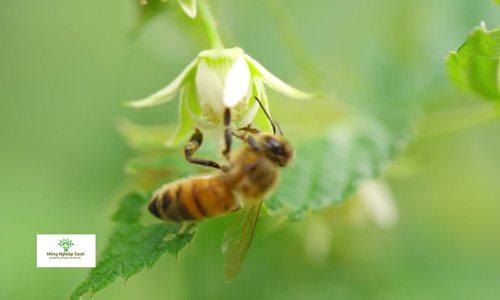 Kỹ thuật nuôi ong lấy mật